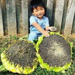 1000 Seeds Giant Sunflower - Mongolian Giant 9.95 - 2