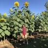 Semillas de Girasol gigante RUSSIAN MAMMOTH
