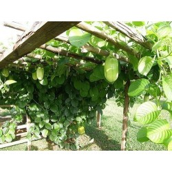 Graines de Grenadille Géante (Passiflora quadrangularis) 2.5 - 8