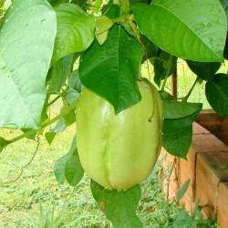 Graines de Grenadille Géante (Passiflora quadrangularis) 2.5 - 9