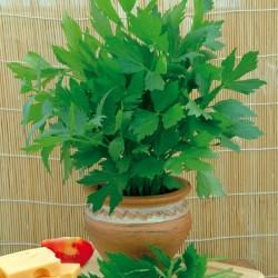 Liebstöckel Samen, Maggikraut (Levisticum officinale) 1.85 - 1
