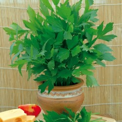 Lovage Seeds (Levisticum officinale) 1.85 - 1