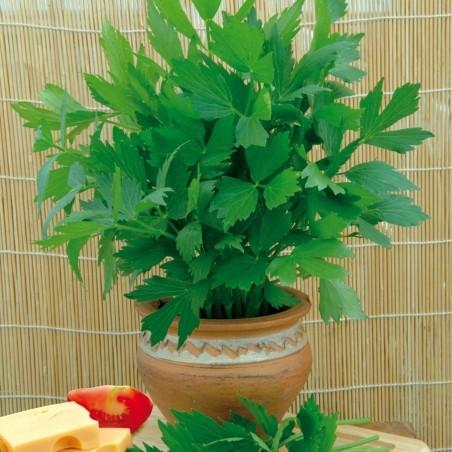 Liebstöckel Samen, Maggikraut (Levisticum officinale)