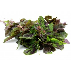 Ararat Basil Seeds (Ocimum...