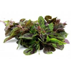 ARARAT Basilikum Saatgut (Ocimum basilicum) 1.95 - 1