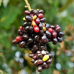 Retko Voce - Rusty sapindus Voce Seme (Lepisanthes rubiginosa) 4 - 6