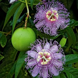 Maypop, Purple Passionflower Seeds (Passiflora incarnata) 2.05 - 1