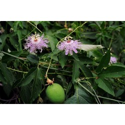 Maypop, Purple Passionflower Seeds (Passiflora incarnata) 2.05 - 4
