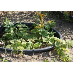 Manchu Tubergourd, Wild Potato Seeds (Thladiantha dubia) 3.75 - 2