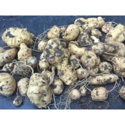 Manchu Tubergourd, Wild Potato Seeds (Thladiantha dubia) 3.75 - 4