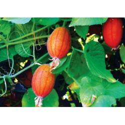 Manchu Tubergourd, Wild Potato Seeds (Thladiantha dubia) 3.75 - 5