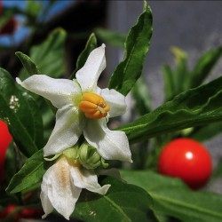 Seeds Jerusalem Cherry, Madeira Winter Cherry 1.5 - 1