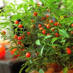 Seeds Jerusalem Cherry, Madeira Winter Cherry 1.5 - 2