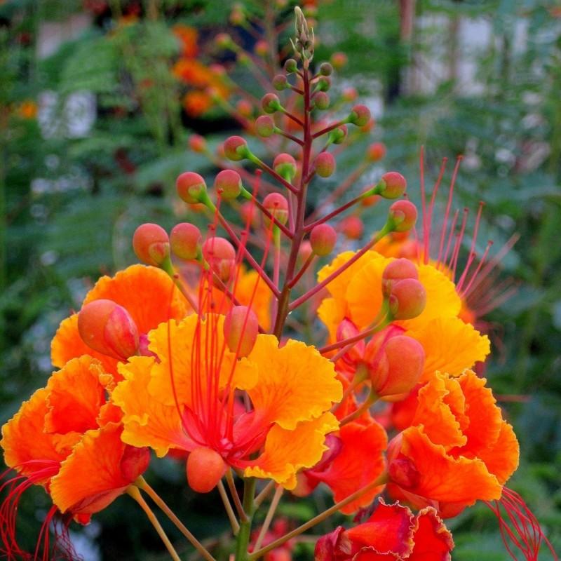 Pride of Barbados Seme - Egzoticna Biljka 2.35 - 4