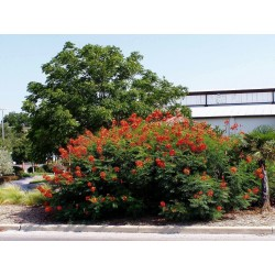 Påfågelsträd Frön - Pride of Barbados 2.35 - 2
