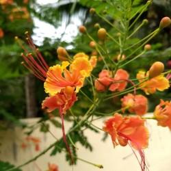 Påfågelsträd Frön - Pride of Barbados 2.35 - 3