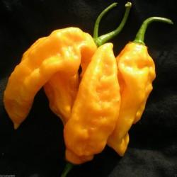 Gelb oder Braun Chili Capsicum chinense 15 bis 45 Samen Bhut Jolokia Rot