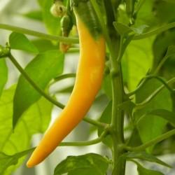 """Serbian hot chilli 150+ Seeds """"Yellow Feferona"""" 2.85 - 1"""