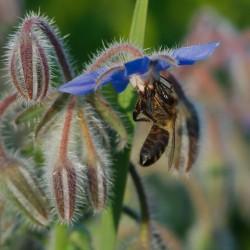 Starflower, Borage Seeds (Borago officinalis) 1.55 - 5