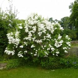 Lilac Seeds (Syringa vulgaris) 1.55 - 7