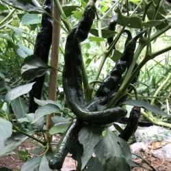 Sementes Da Pimenta Pasilla Bajio Ou Chile Negro 1.95 - 5