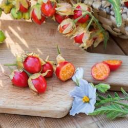 Колючий помидор (Кокона) Семена (Solanum sisymbriifolium) 1.8 - 1