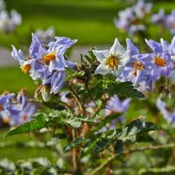 Litchi Tomatensamen - Lulita (Solanum sisymbriifolium) 1.8 - 2