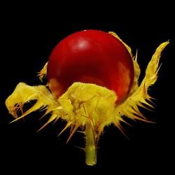 Litchi Tomatensamen - Lulita (Solanum sisymbriifolium) 1.8 - 8