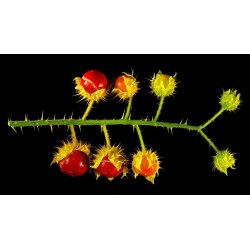 Sementes de Tomate Lichia (Solanum sisymbriifolium) 1.8 - 9