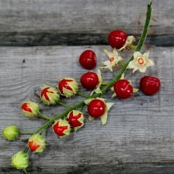 Sementes de Tomate Lichia (Solanum sisymbriifolium) 1.8 - 3