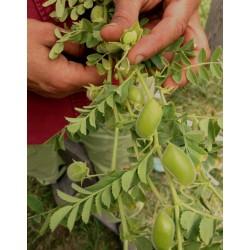 Semillas de Garbanzo (Cicer arietinum) 1.85 - 3