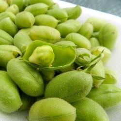 Σπόροι Ρεβιθιά (Cicer arietinum) 1.85 - 6