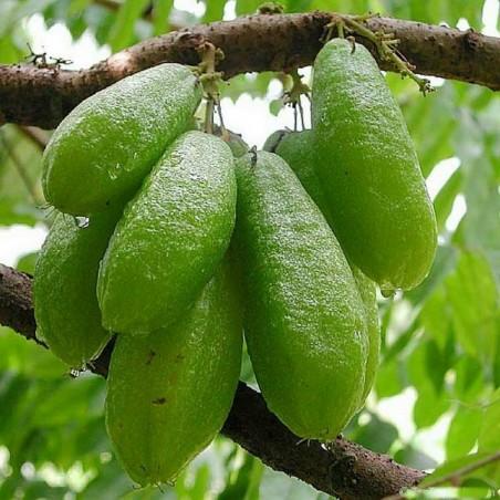 Bilimbi, Cucumber Tree Seeds (Averrhoa bilimbi)