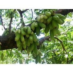 Bilimbi, Cucumber Tree Seeds (Averrhoa bilimbi) 3.5 - 3