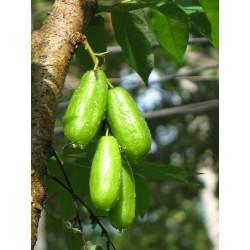 Билимби, Огуречное Дерево Семена 3.5 - 4