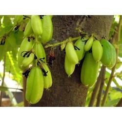 Билимби, Огуречное Дерево Семена 3.5 - 5