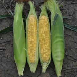 Sementes De Milho Doce Golden Bantam 1.8 - 2