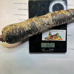 Semi di carote giganti Purple Dragon 1.55 - 4