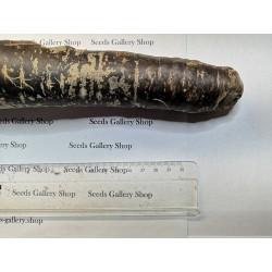 Graines de carotte géantes Purple Dragon 1.55 - 6