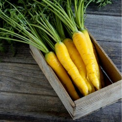 Giant Yellow Carrot Seeds 1.5 - 2