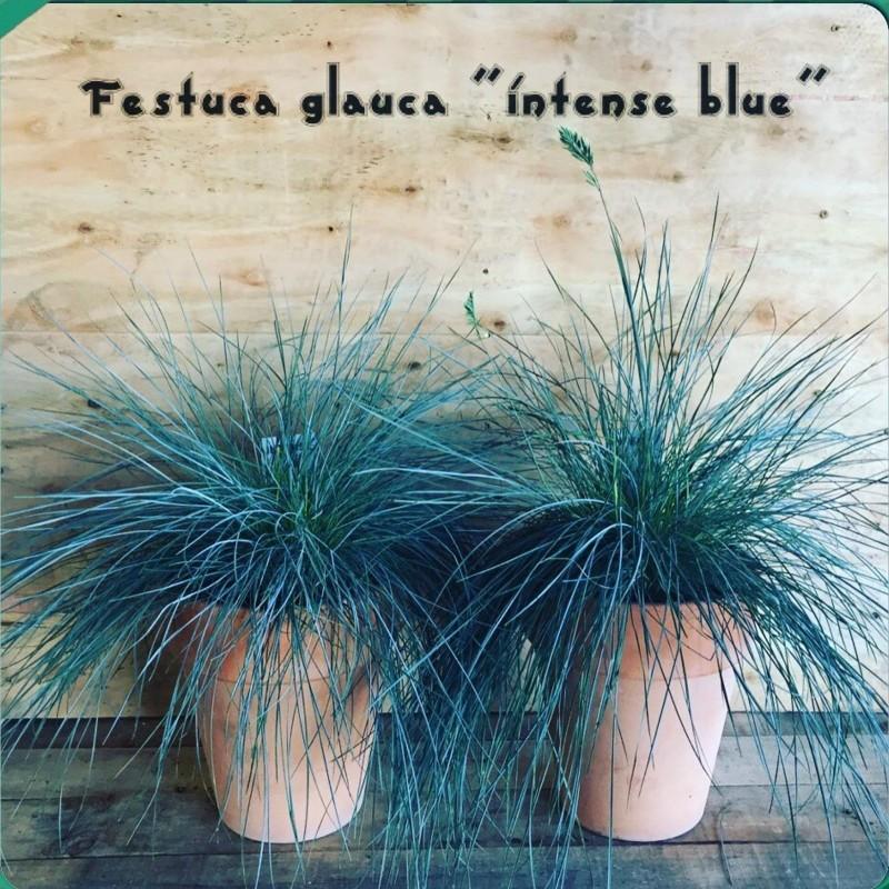 Σπόροι Φεστούκα η γλαυκή (Festuca glauca) 1.85 - 8