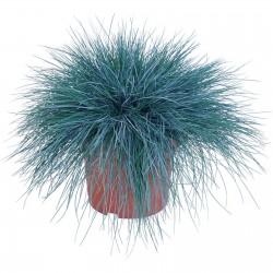 Blauschwingel Samen 1.85 - 6