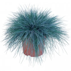 Blue Grass Seeds Festuca Glauca Intense Blue 1.85 - 6