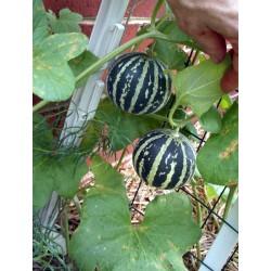 Σπόροι Αρμενίων Πεπόνι Tigger 2.95 - 7