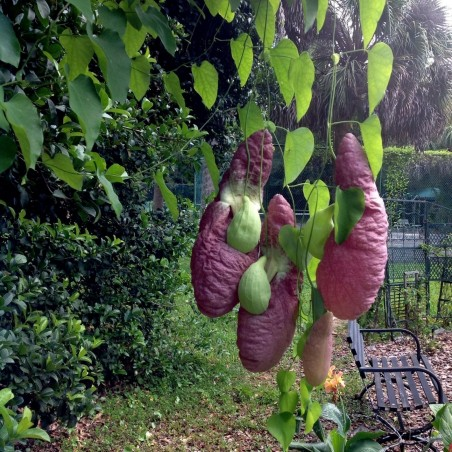 Birthworts, Pipevines, Dutchman's Pipes Seeds
