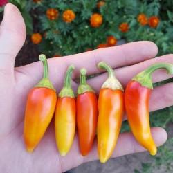 Sementes de Pimenta SANTA FE GRANDE - GUERO 1.55 - 5