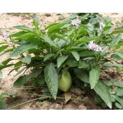 Birnenmelone Pepino Samen (Solanum muricatum) 2.55 - 5