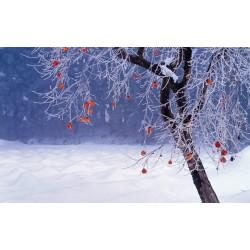 Japanska Jabuka Seme (Diospyros Kaki) 3.55 - 4