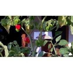 Habanero Senegal Samen (Capsicum chinense)