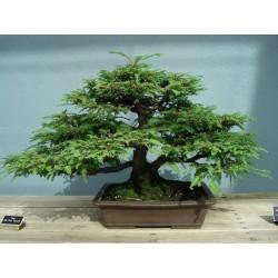 Sekvoja Seme (Sequoiadendron giganteum) 2.35 - 3